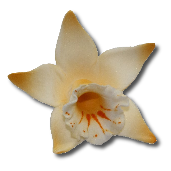 Katleja herbaciana malowana - 10 szt