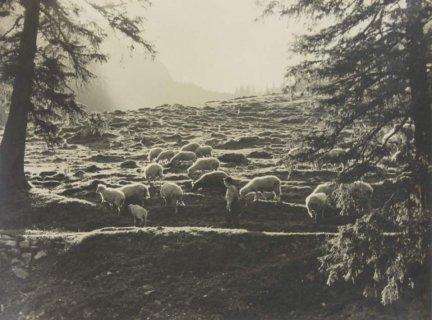 Błochowicz Seweryn - [GÓRY - Tatry. Owce] - fotografia.