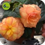 Begonia Bulwiasta morelowa  6 sztuk