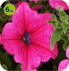Surfinia Hot Pink 6 sztuk