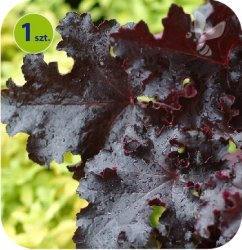 Heuchera Black Beauty 1 sztuka