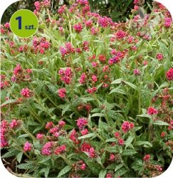 Pulmonaria Raspberry Splash 1 sztuka