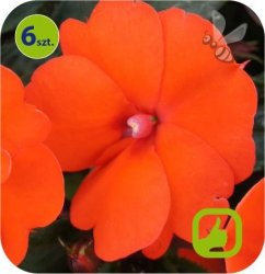 Sunpatiens Orange 6 szt.