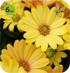 Osteospermum żółte 6 sztuk