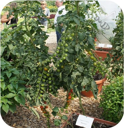 Pomidor Philovita F1