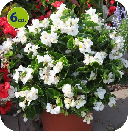 Begonia Dragon biała z zielonym liściem 6 sztuk