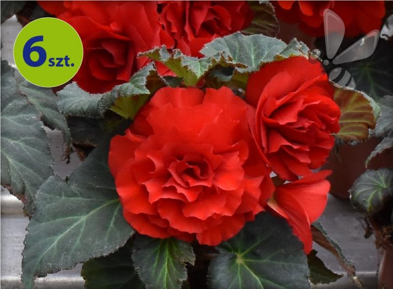 begonia bulwiasta czerwona