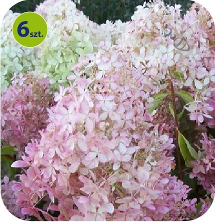 Hortensja krzewiasta Panflora 6 sztuk