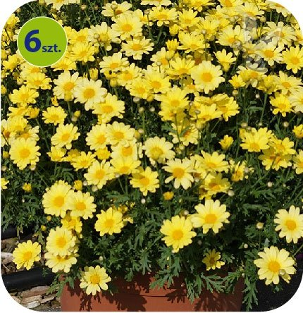 margarytka żółta