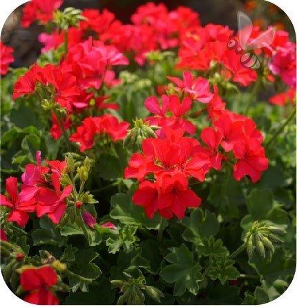 Pelargonia Pure Neon Rose 6 sztuk