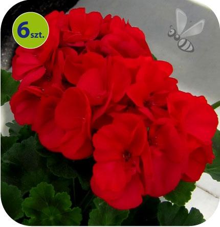 Pelargonia rabatowa ciemnoczerwona 6 sztuk