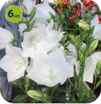 Campanula Takion White 6 sztuk