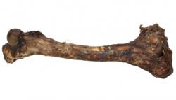 ABAKUS Kość z jelenia 1szt.
