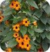 Thunbergia Orange 6 sztuk