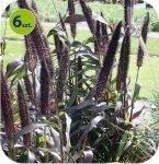 Penisetum Purple Majesty 6 sztuk