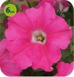 Conchita Grande Pink 6 sztuk