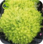 Sedum Winter Green 1 sztuka