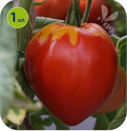 Pomidor szczepiony Coeur de Boeuf bawole serce