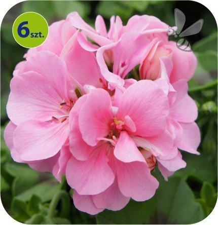 Pelargonia wisząca różowa 6 sztuk