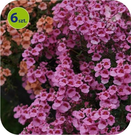 Diascia różowa 6 sztuk