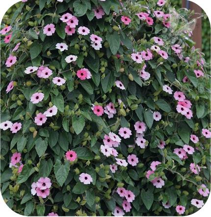 Thunbergia Rose Sensation 6 sztuk