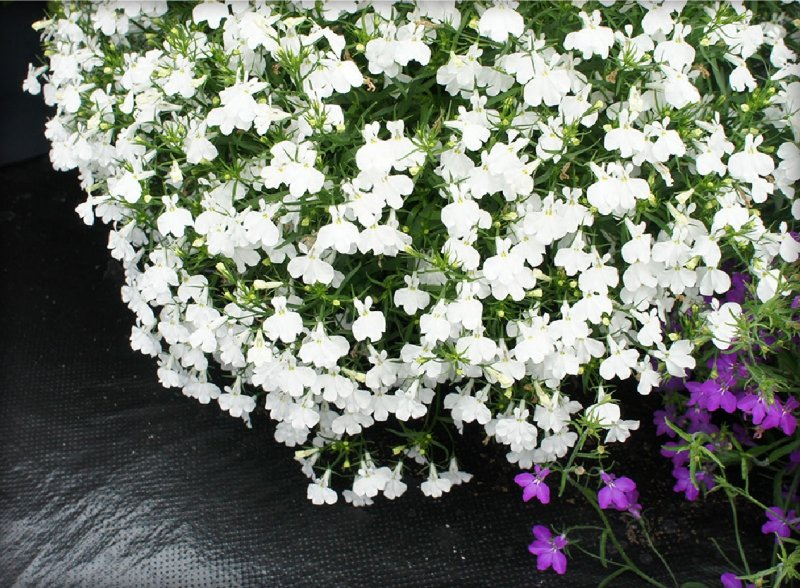 lobelia biała