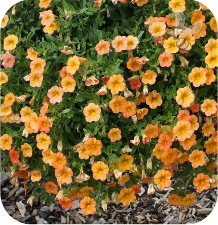 calita pomarańczowa