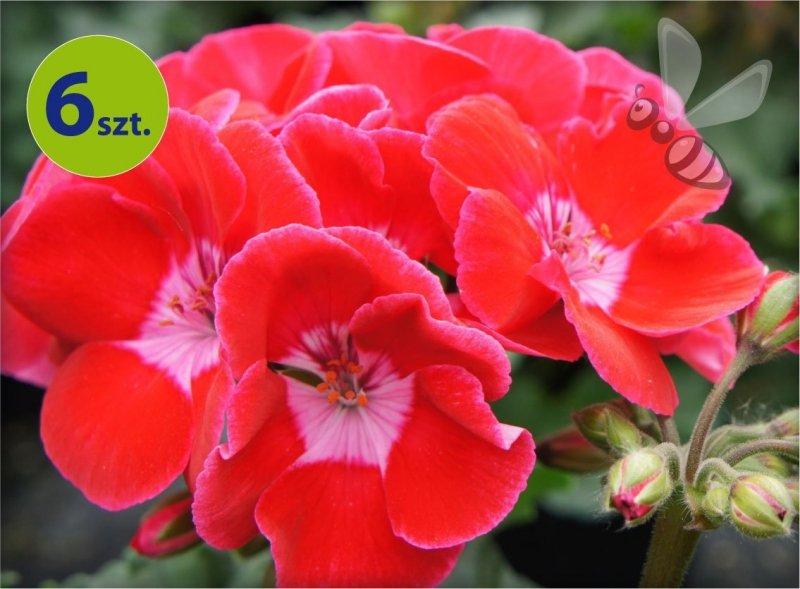 pelargonia rabatowa truskawkowa