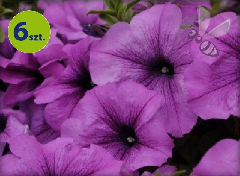 Conchita Grande Lavender 6 sztuk