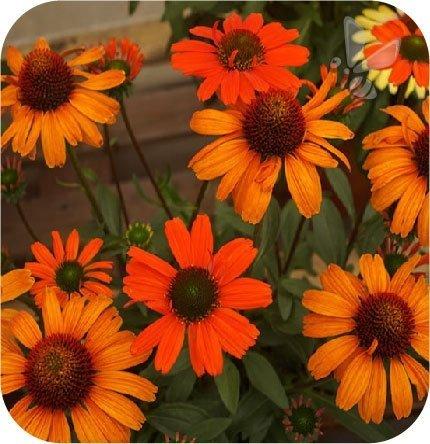 Jeżówka Sun Orange