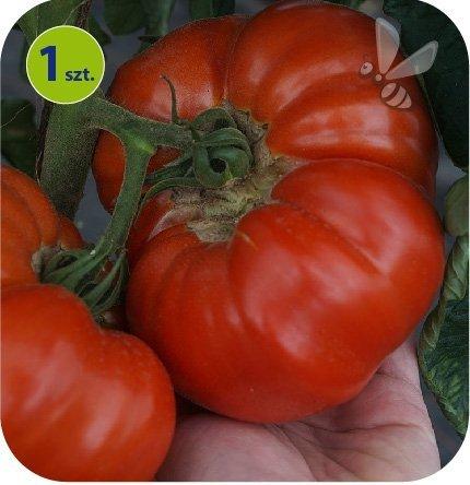 Pomidor szczepiony Buffalosteak