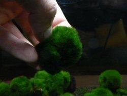 Gałęzatka Kulista Mała Cladophora 1-3 Cm