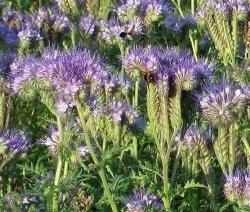 Facelia błękitna - nasiona 100 gram
