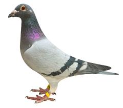 Dla Gołębi