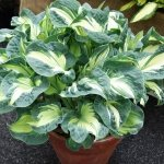 Funkia Golden Meadows (Hosta)
