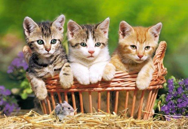 Puzzle 500 Castorland B-52561 Three Lovely Kittens