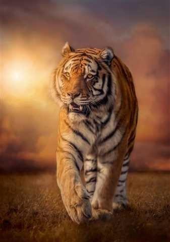 Puzzle 1500 Clementoni 31806 Tygrys