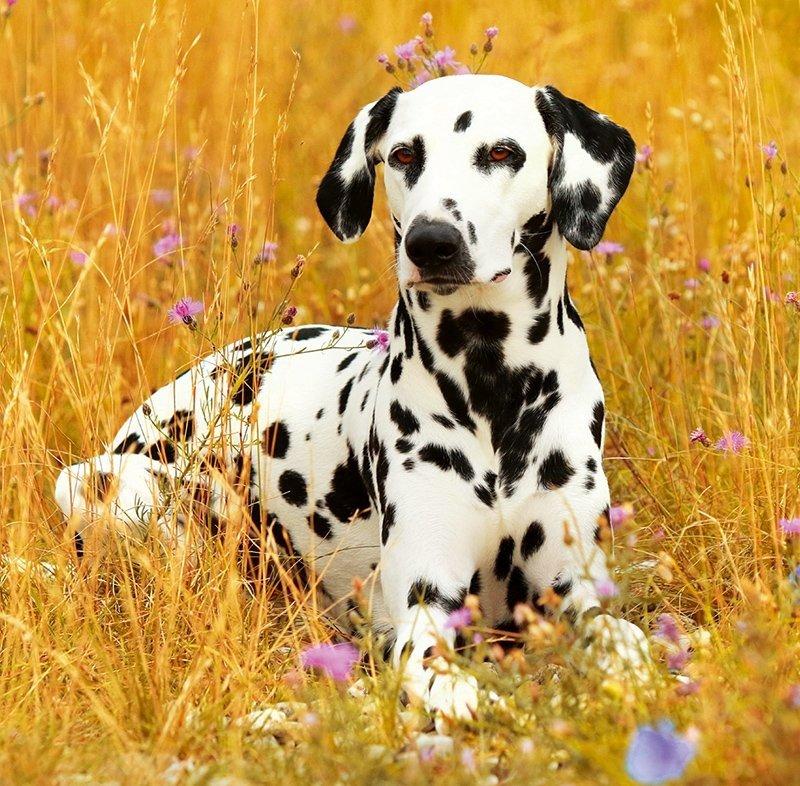 Kalendarz ścienny wieloplanszowy Dogs 2022 z naklejkami - sierpień 2022