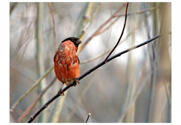 Fototapeta - Bullfinch in the forest