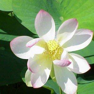 White Lotus Attar 1 ml perfumy bezalkoholowe próbka