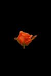 Róża drobna wyrobowa MIX