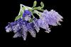 Lawenda x 5 kwiatów - 18Y143