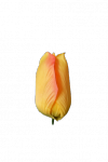 Tulipan MIX