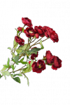 Róża ogrodowa - 99/090