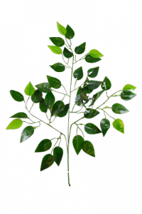 Gałązka benjamin  liść z połyskiem