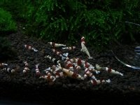 Stado Startowe Krewetka Crystal Red 10 sztuk Piękne