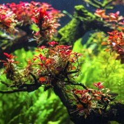 Ludwigia Mini sp. Super Red Kubek 5cm in vitro Piękna