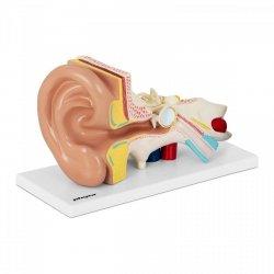 Ucho - model anatomiczny PHYSA PHY-EM-1 10040319