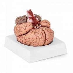 Mózg - model anatomiczny PHYSA 10040237 PHY-BM-1