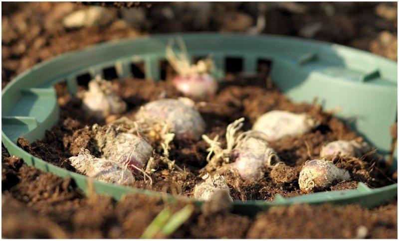 Koszyk do sadzenia cebul